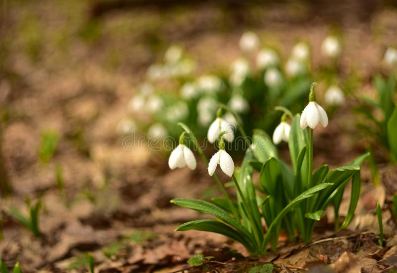 Beaux perce-neige blancs de ressort dans la forêt images libres de droits