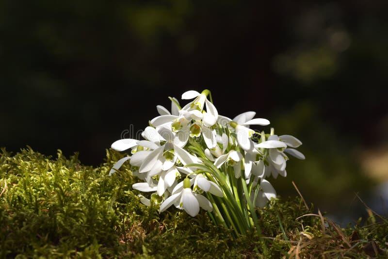 Beaux perce-neige en nature sur la mousse photo stock