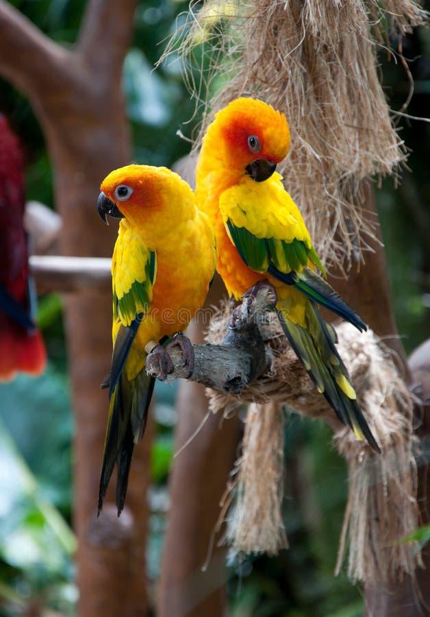 Beaux perroquets colorés, Sun Conure photos stock