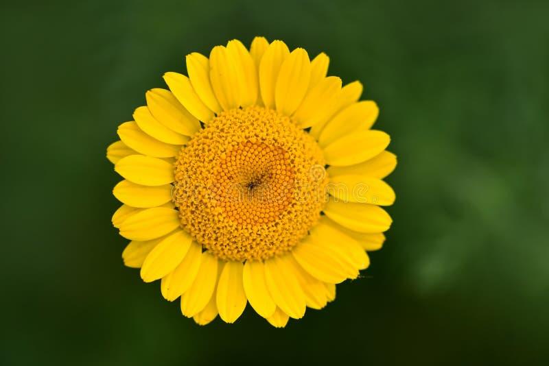 Beaux petits myconis de Coleostephus de fleur dans un pré, connu sous le nom de souci de maïs images stock