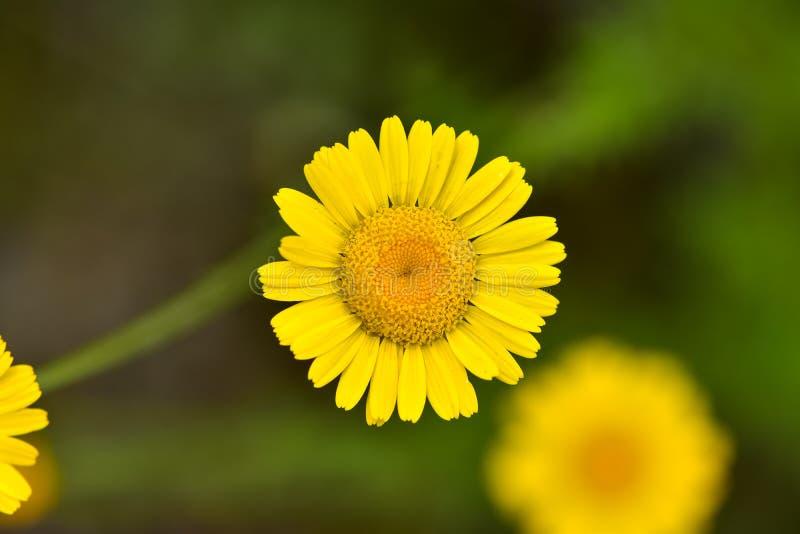 Beaux petits myconis de Coleostephus de fleur dans un pré, connu sous le nom de souci de maïs photos libres de droits