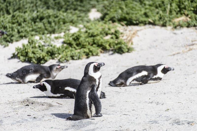 Beaux pingouins africains image libre de droits