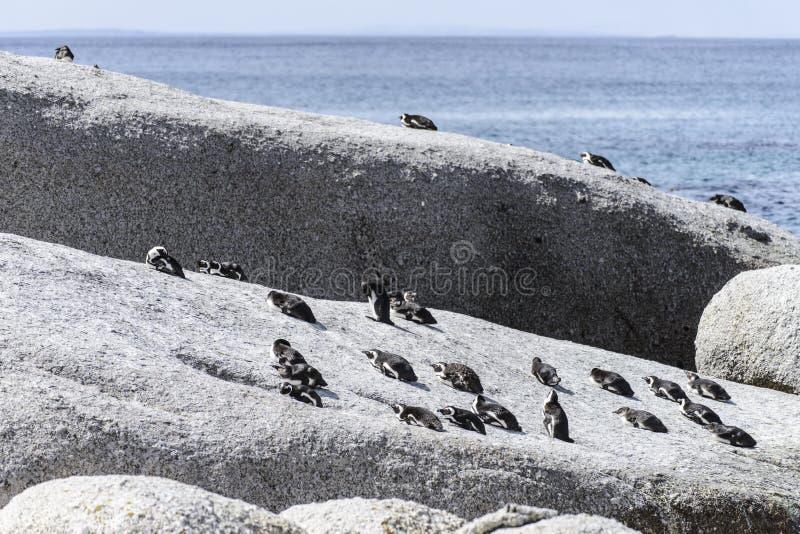 Beaux pingouins africains photos libres de droits