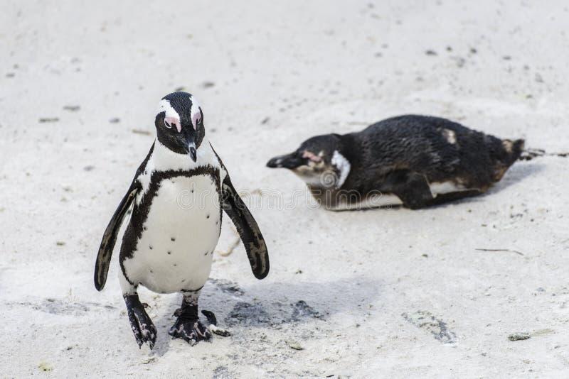 Beaux pingouins africains photos stock