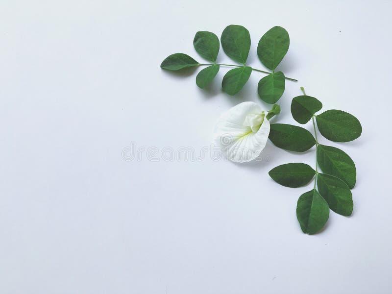 Beaux pois et feuilles de papillon sur le fond blanc photographie stock