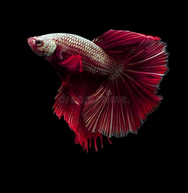 Beaux poissons de combat siamois sur le noir image stock