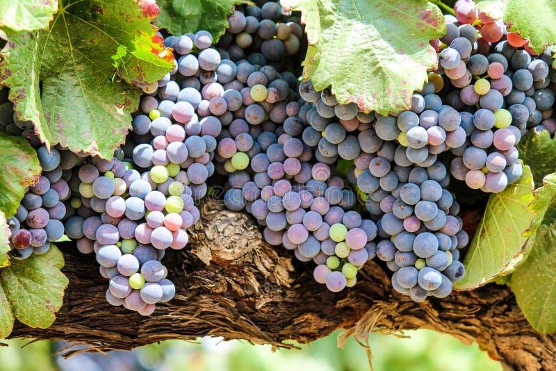 Beaux raisins de vignoble photos libres de droits