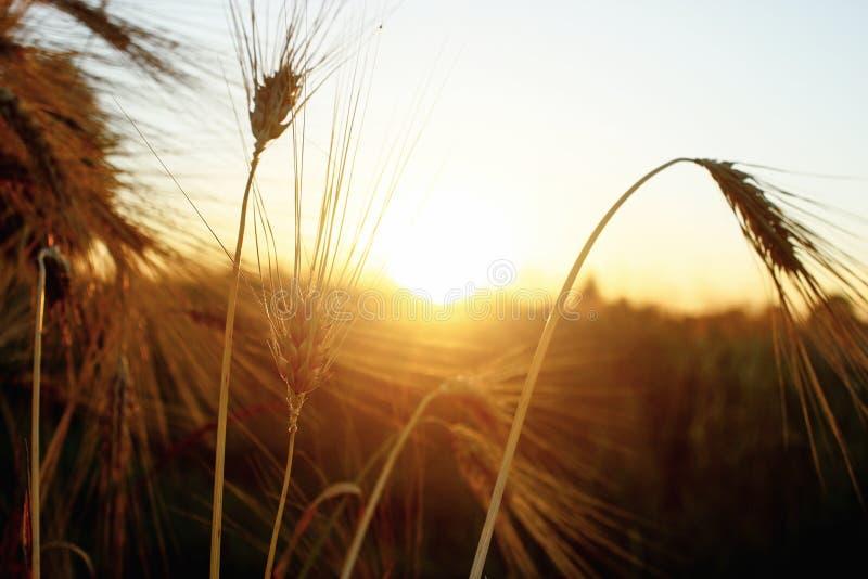 Beaux rayons de soleil et rayons au champ de blé de seigle, soleil étonnant photos libres de droits