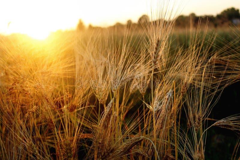 Beaux rayons de soleil et rayons au champ de blé de seigle, soleil étonnant photographie stock libre de droits