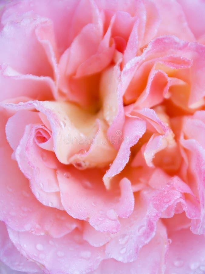 Beaux roses choisissent rose avec le fond de baisses de l'eau image stock