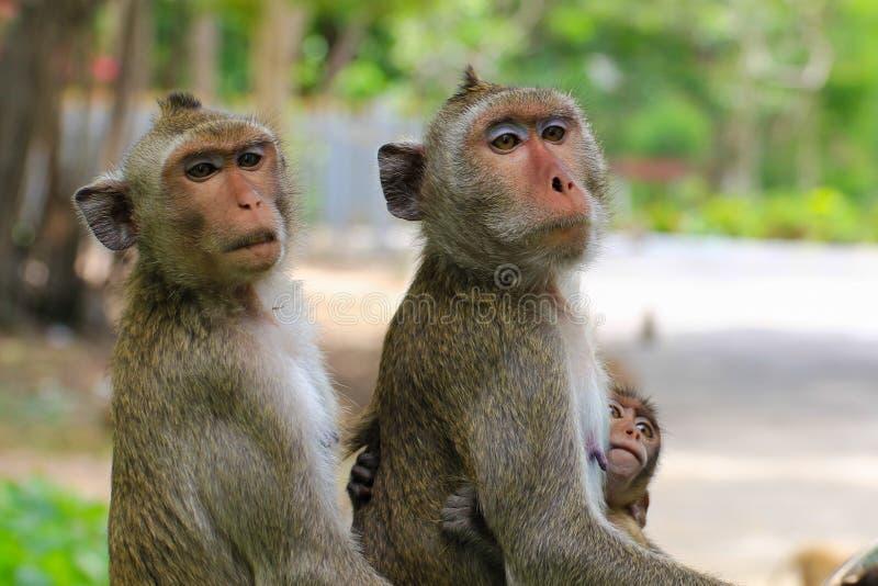 Beaux singes, singe drôle photographie stock libre de droits