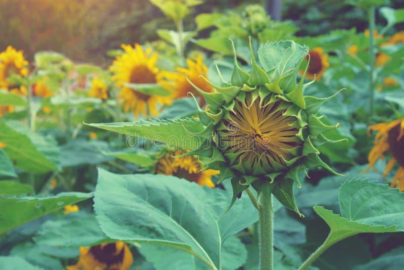 Beaux tournesols photos stock