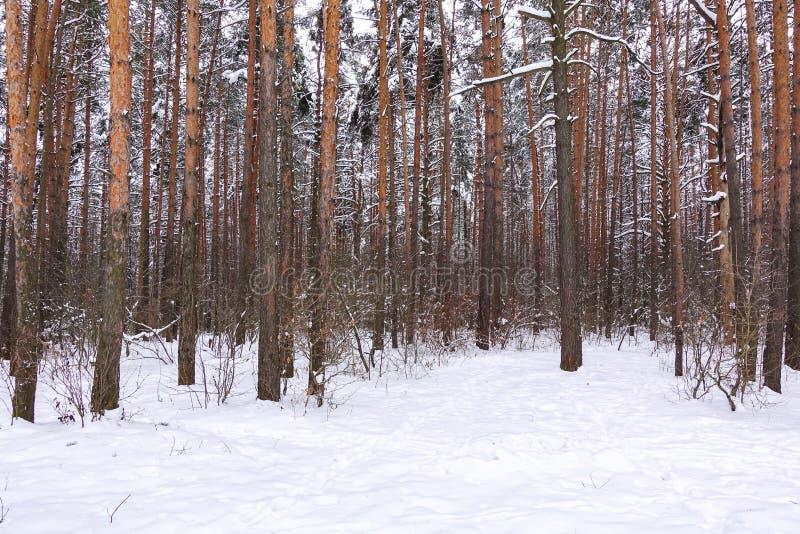 Beaux troncs de forêt d'hiver des arbres couverts de neige Horizontal de l'hiver Blancs enneigement la terre et des arbres majest photographie stock