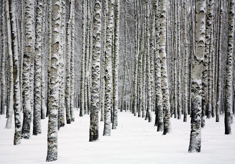Beaux troncs neigeux des arbres de bouleau dans la forêt d'hiver photographie stock libre de droits