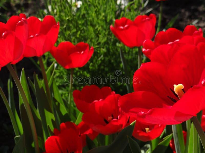 beaux tylips images libres de droits