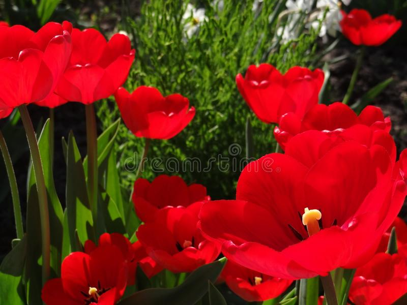 beaux tylips photo stock