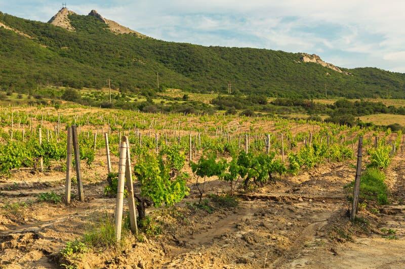 Beaux vignobles verts sur des champs en montagnes de la Crimée photo libre de droits