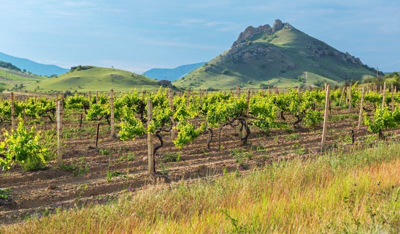 Beaux vignobles verts sur des champs en montagnes de la Crimée images libres de droits