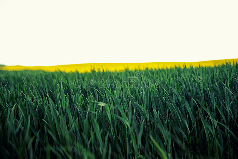Beaux vue colorée des usines de floraison de graine de colza et rural photos stock