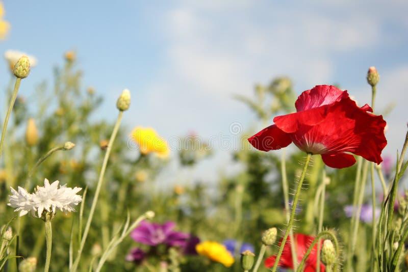 Beaux wildflowers dans la marge de champ en Hollande pendant l'été et un ciel bleu photos libres de droits