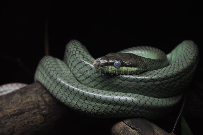 Beaux yeux bleus d'un serpent photos libres de droits