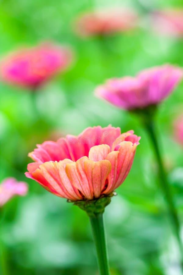 Beaux Zinnias de floraison photographie stock libre de droits