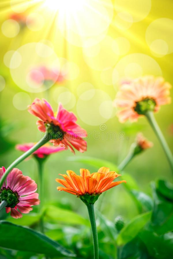 Beaux Zinnias de floraison photographie stock