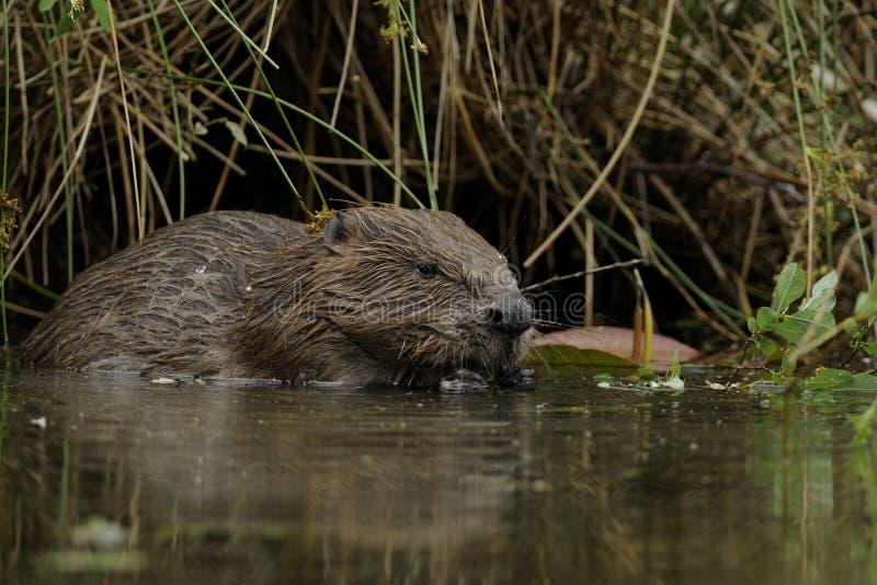 beaver волокно европейца рицинуса стоковые фото