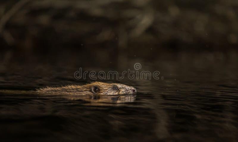 Beaver, волокно рицинуса, плавая в темной воде стоковые изображения