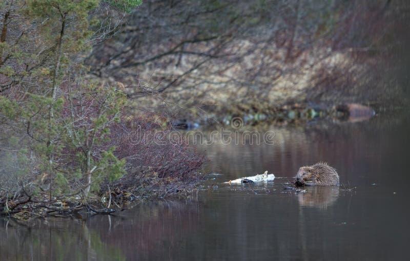 Beaver в окружающей среде, сидящ в воде, есть Озеро в лесе в Норвегии стоковые фотографии rf