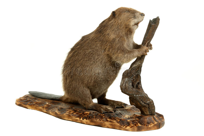 Beaver. Stuffed animal of the young beaver. It is isolated on a white background royalty free stock photo