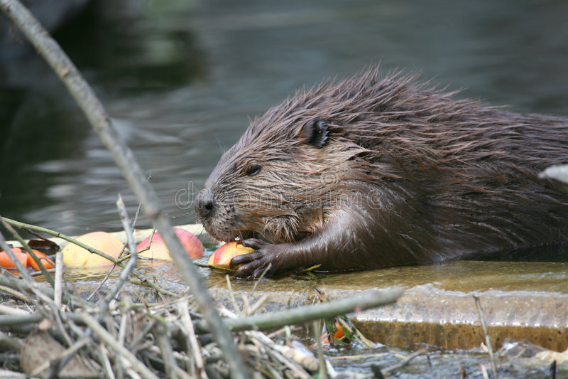 beaver zdjęcia stock