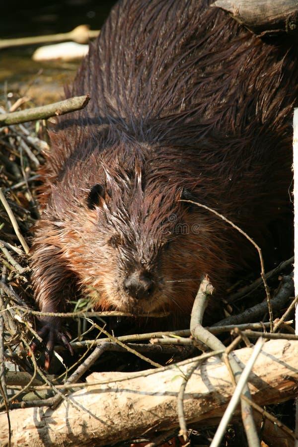 beaver obrazy stock