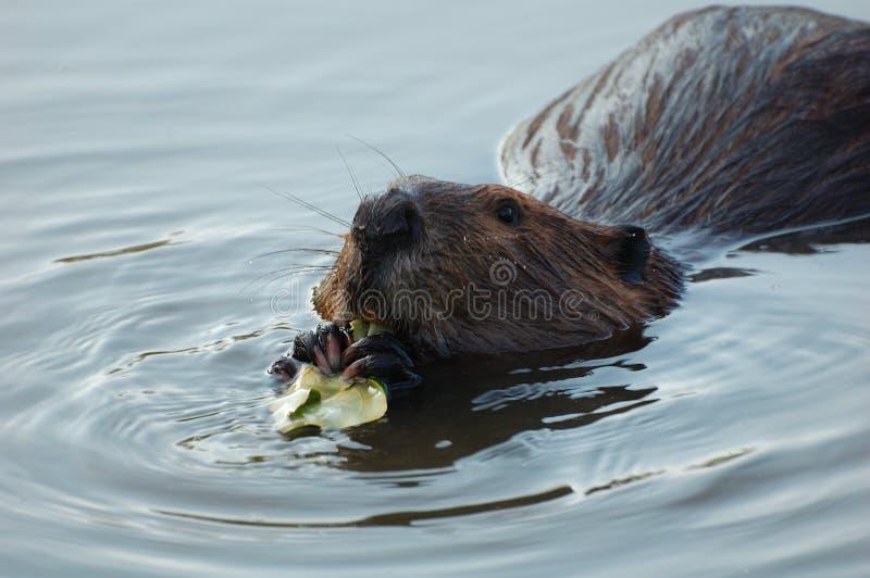 beaver στοκ φωτογραφία