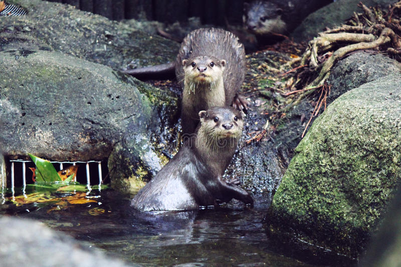 Beaver. Brothers in singapore zoo stock photography