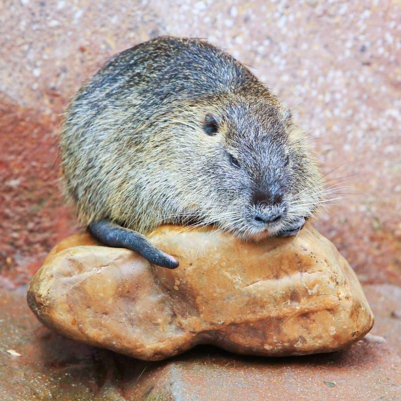 Beaver(Castor) royalty free stock photography