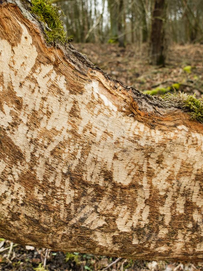 Beaver Castor fiber Damage on Fallen Tree. Beaver tooth marks visible on gnawed tree trunk in woodland soft focus background stock photography