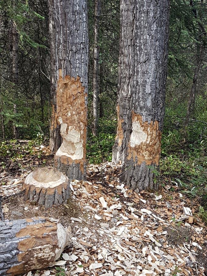 Beaver chew wood stock photography