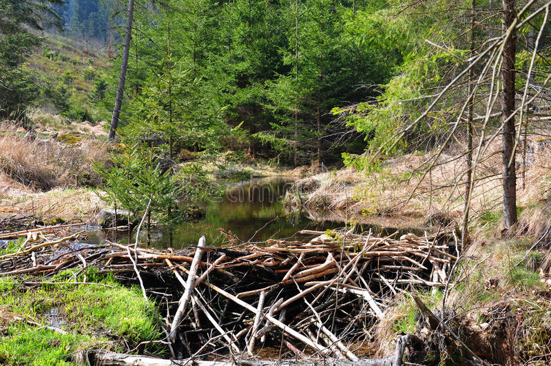 Download Beaver dam stock photo. Image of castor, tree, creek - 43205848