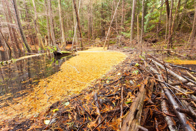 Beaver dam in fall colored forest wetland swamp stock photos