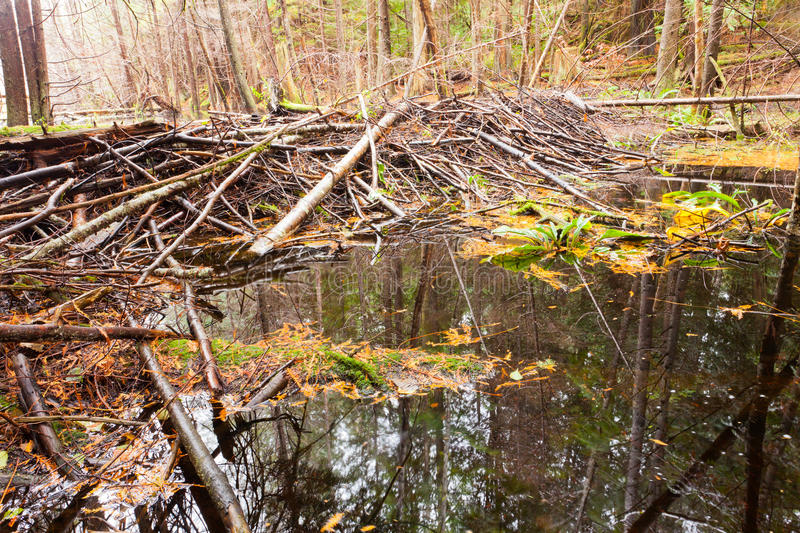 Beaver dam in fall colored forest wetland swamp stock images