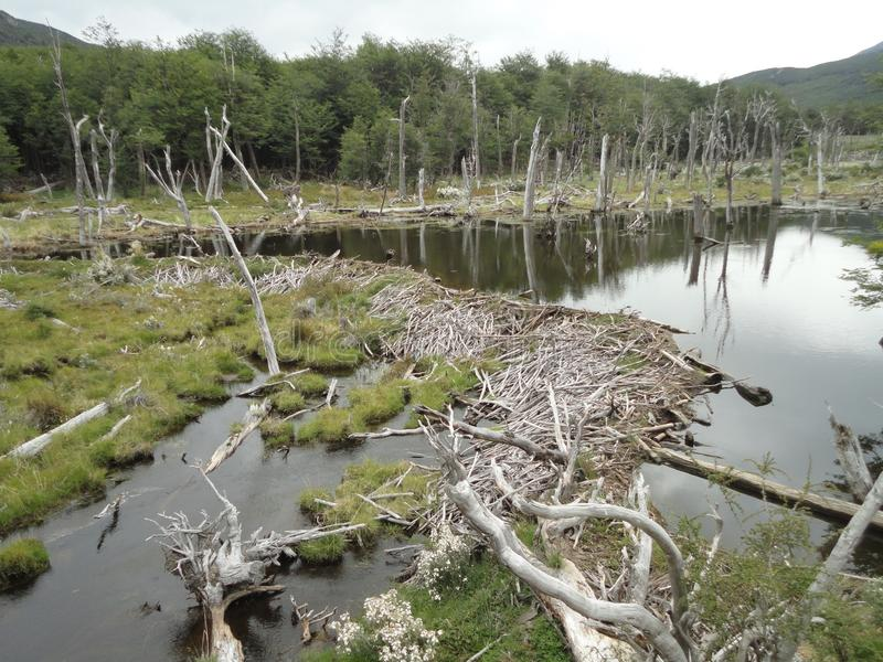Beaver dam in river stock images
