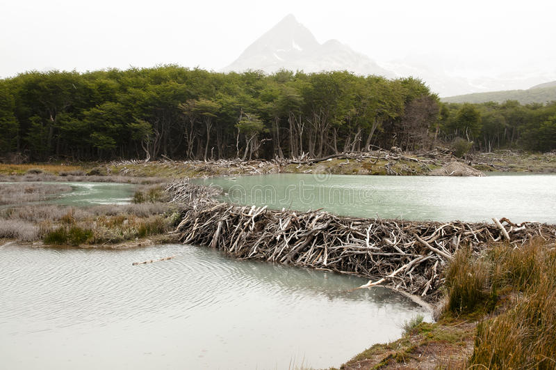 Beaver Dam - Tierra Del Fuego - Argentina. Beaver Dam in Tierra Del Fuego - Argentina royalty free stock image