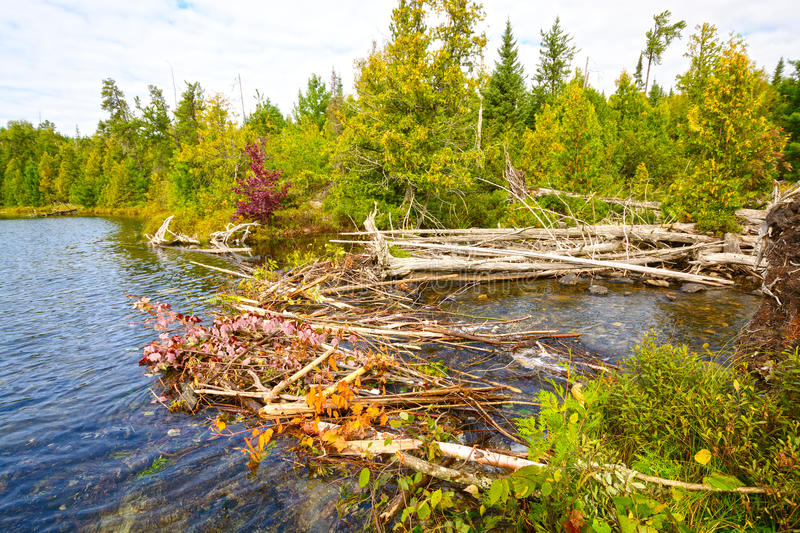 A Beaver Dam in the Wilderness royalty free stock photo