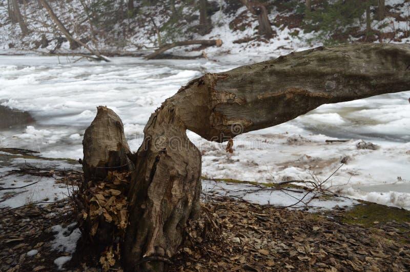 Download Beaver Damage stock image. Image of beaver, river, outdoors - 17720533