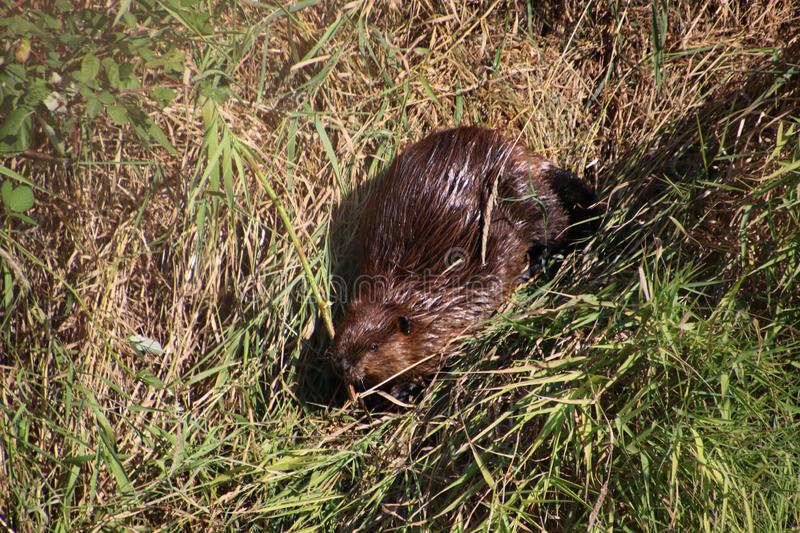A beaver on dry land. Surrounded by both brown and green grass on a summer day, animal, beautiful, cute, environment, field, fur, mammal, nature, outdoor royalty free stock images