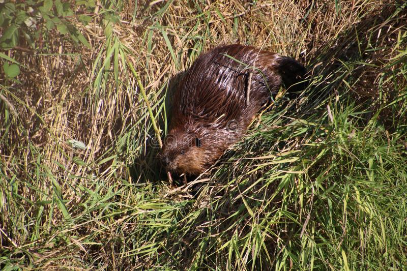 A beaver on dry land. Surrounded by both brown and green grass on a summer day, animal, beautiful, cute, environment, field, fur, mammal, nature, outdoor royalty free stock photography