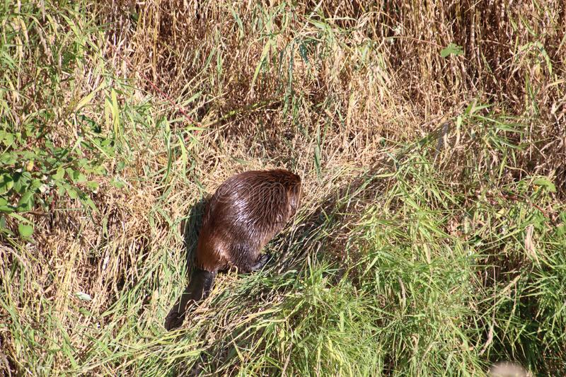 A beaver on dry land. Surrounded by both brown and green grass on a summer day, animal, beautiful, cute, environment, field, fur, mammal, nature, outdoor stock photos