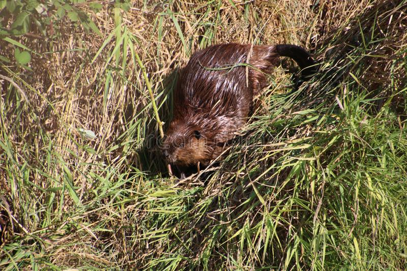 A beaver on dry land. Surrounded by both brown and green grass on a summer day, animal, beautiful, cute, environment, field, fur, mammal, nature, outdoor stock images