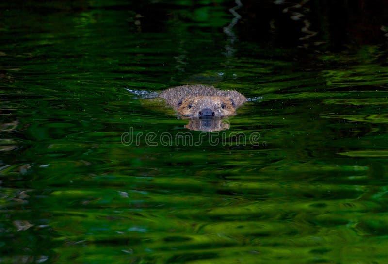 Beaver em uma angra no verão, Suécia fotografia de stock